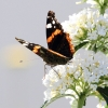 Garten, Schmetterling