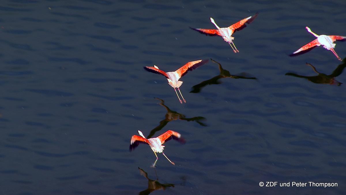 Wir widmen uns der Entstehungsgeschichte des Forggensees und des  Chiemsees, an dem wir einige der wenigen wildlebenden Flamingos in Deutschland erstmals aus der Luft gedreht haben. Honorarfrei - nur für diese Sendung bei Nennung ZDF und Peter Thompson