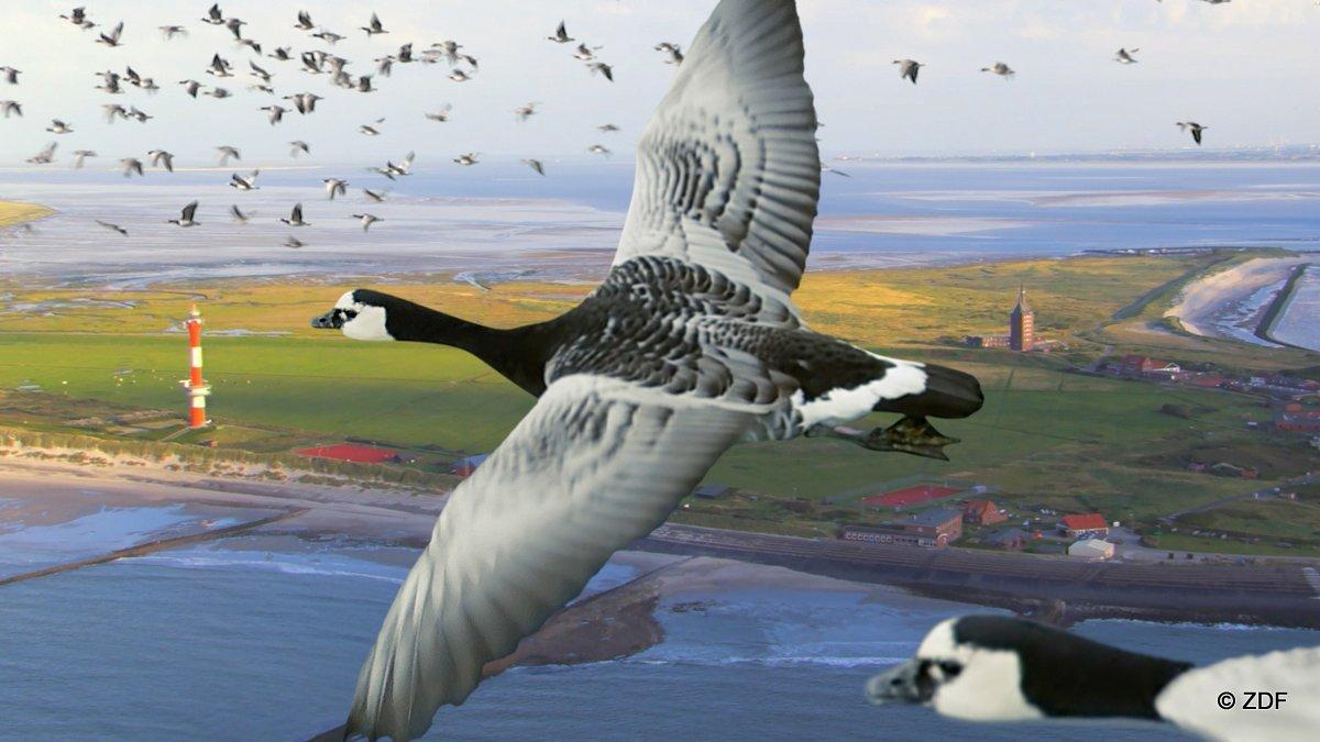 Im Frühjahr ziehen die Nonnengänse – von der Emsmündung an den Nordseeinseln vorbei, die Ostsee entlang – bis nach Russland, um dort ihren Nachwuchs zu bekommen.